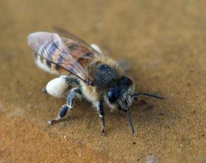Arbejderbi med pollen