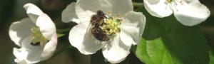 Bi i æbleblomst