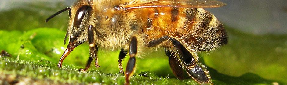 Drikende bi