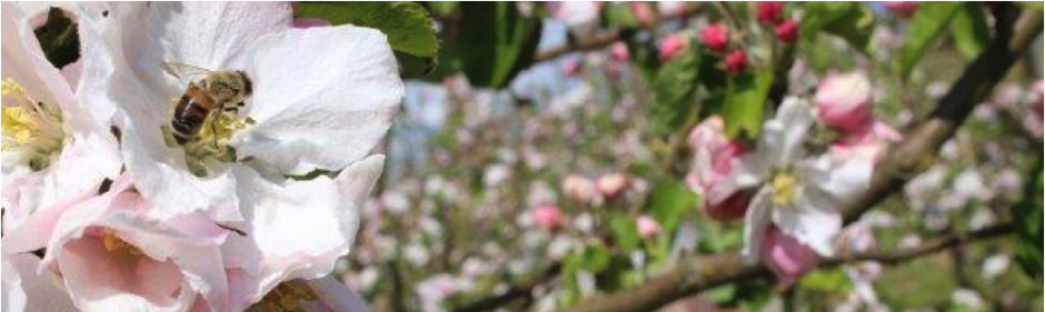 bestøvning æbletræer